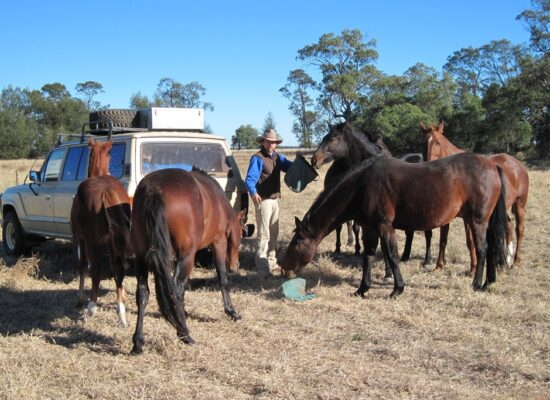 Markus Linse is feeding a bunch of horses in Australia