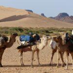 Kamele für eine Trekkingtour in Algerien 4x4 overland offroad in Algeria and the Central Desert with Outback Expeditions